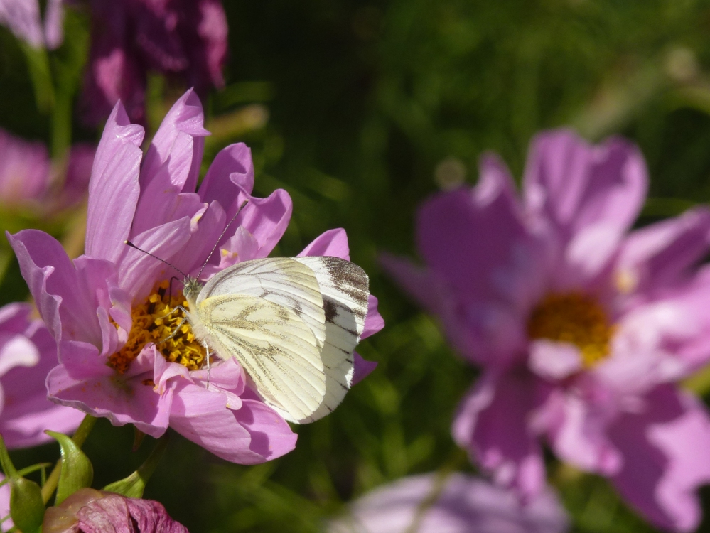 Cosmos and cabbage white butterfly