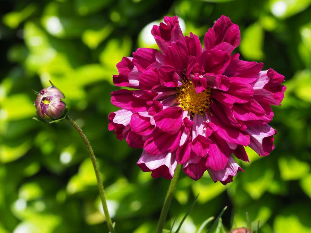 Cosmos bipinatus 'Double Click Cranberries' (2)