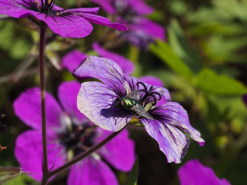 Geranium 'Anne Thomson' going over