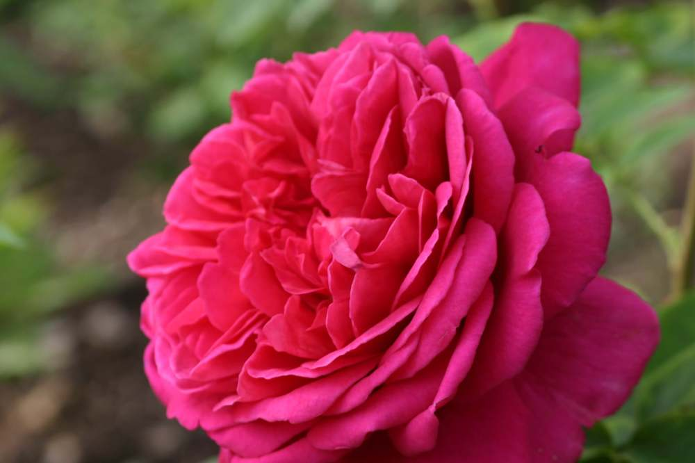 Rosa 'Lady of Megginch' (2)