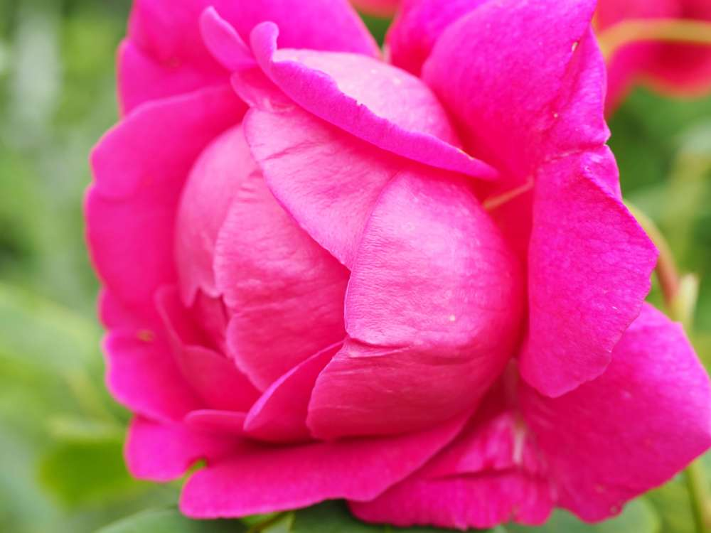Rosa 'Lady of Megginch' (3)
