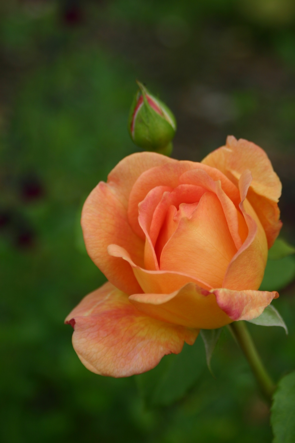 Rosa 'Lady of Shalott' (4)