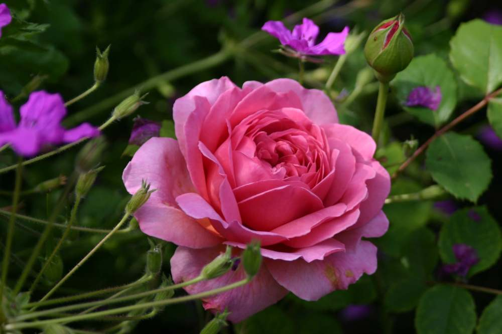 Rosa 'Princess Alexandra of Kent' (1)