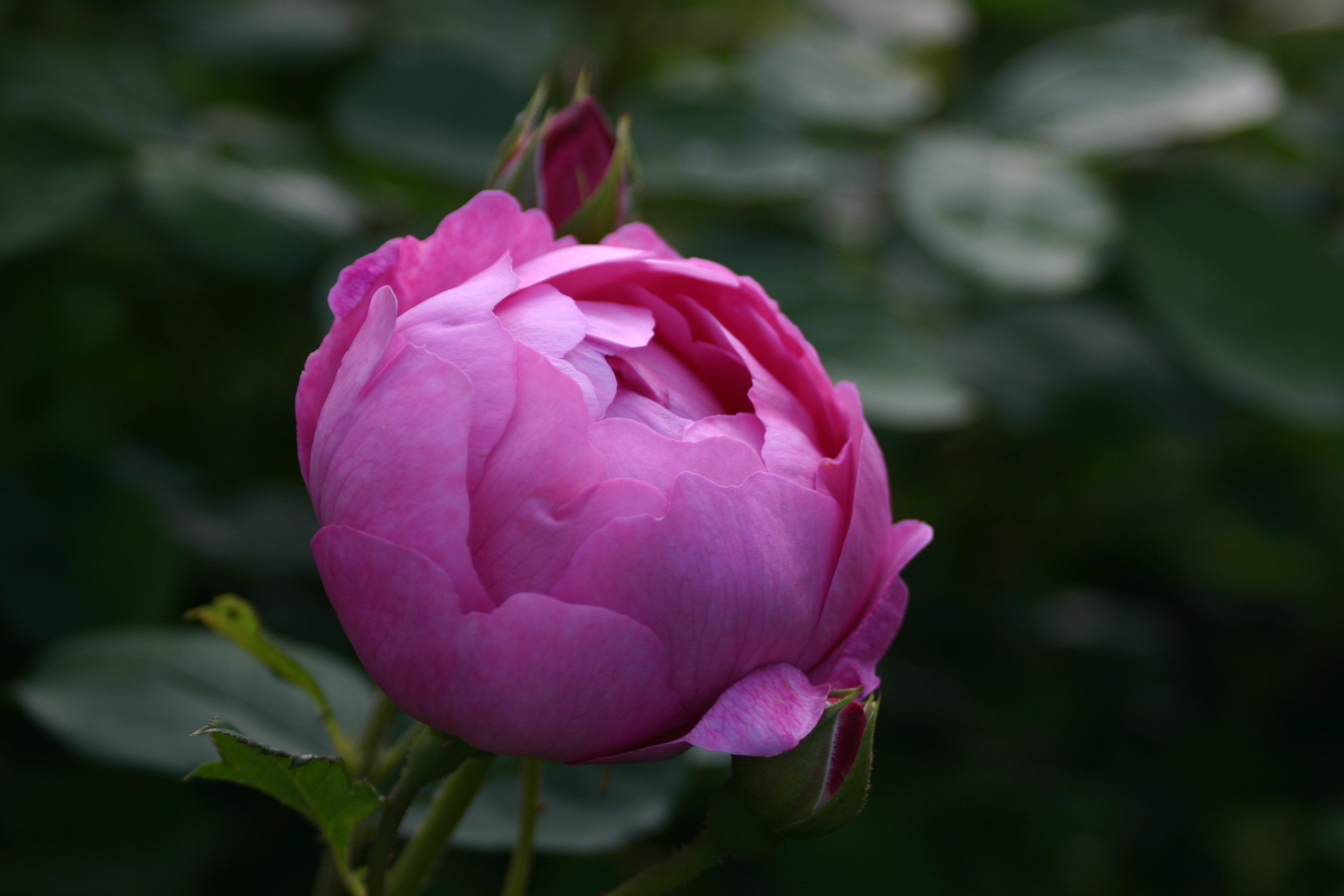 Rosa 'Royal Jubilee' (3)