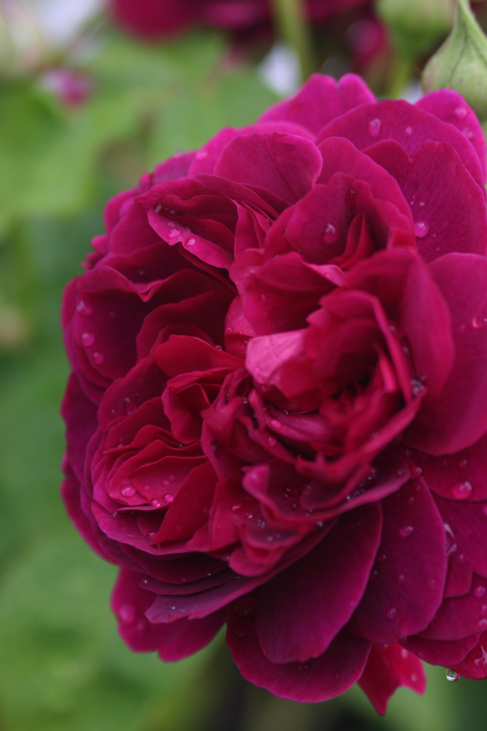 Rosa 'William Shakespeare 2000' (2)