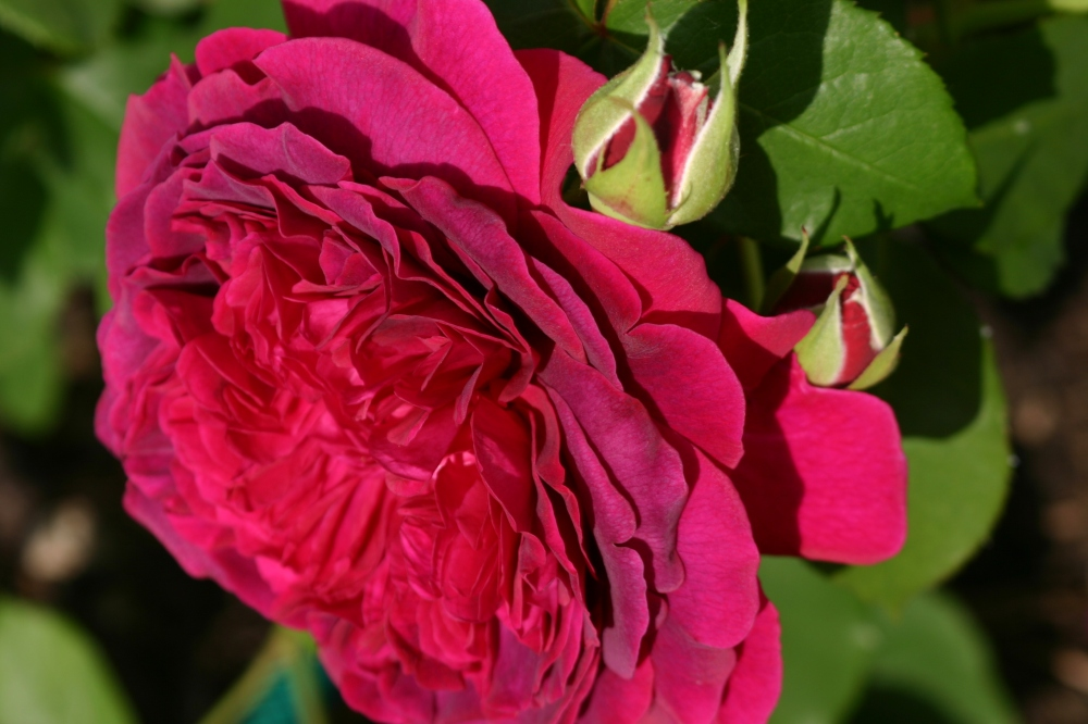 Rosa 'William Shakespeare 2000' (5)