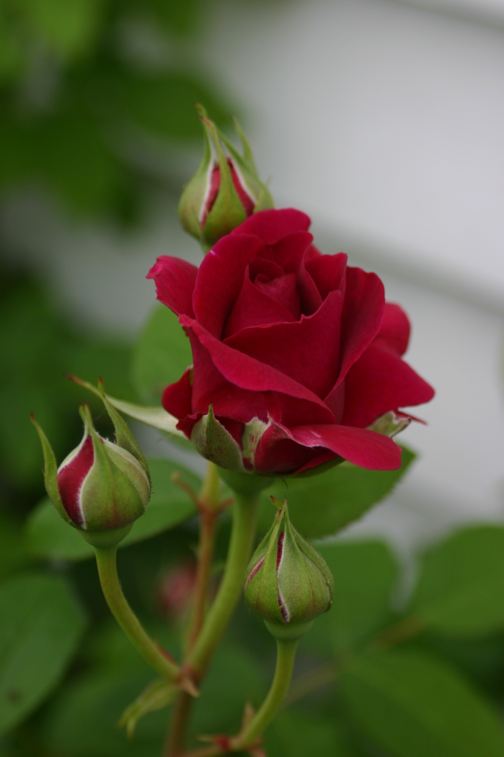 Rosa 'William Shakespeare 2000' bud