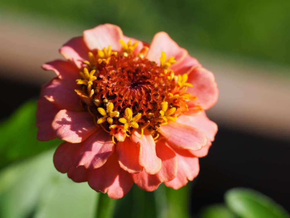 Zinnia 'Cupid Mixture' (3)