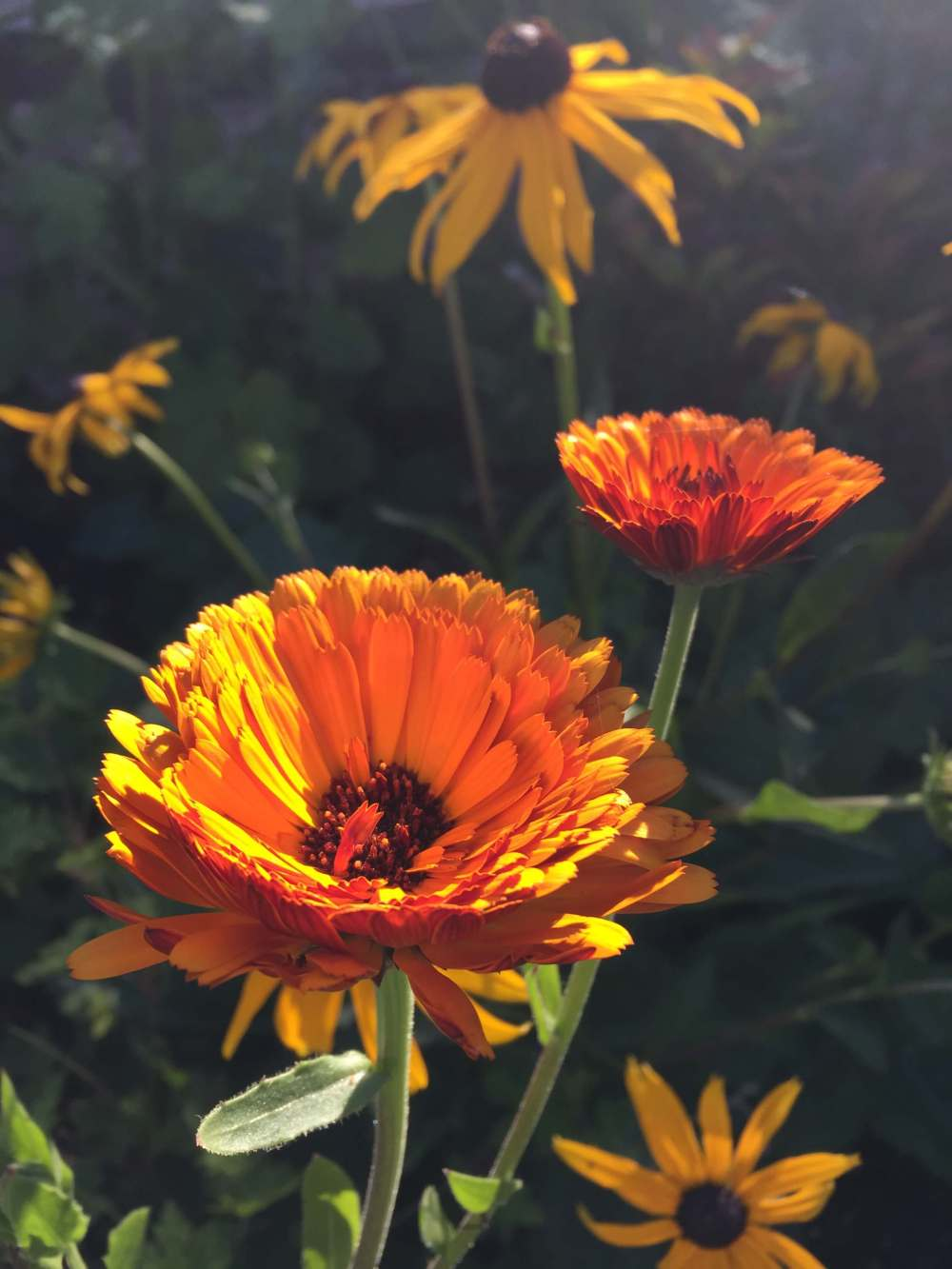 Calendula officianalis 'Indian Prince' and Rudbeckia 'Goldsturm'