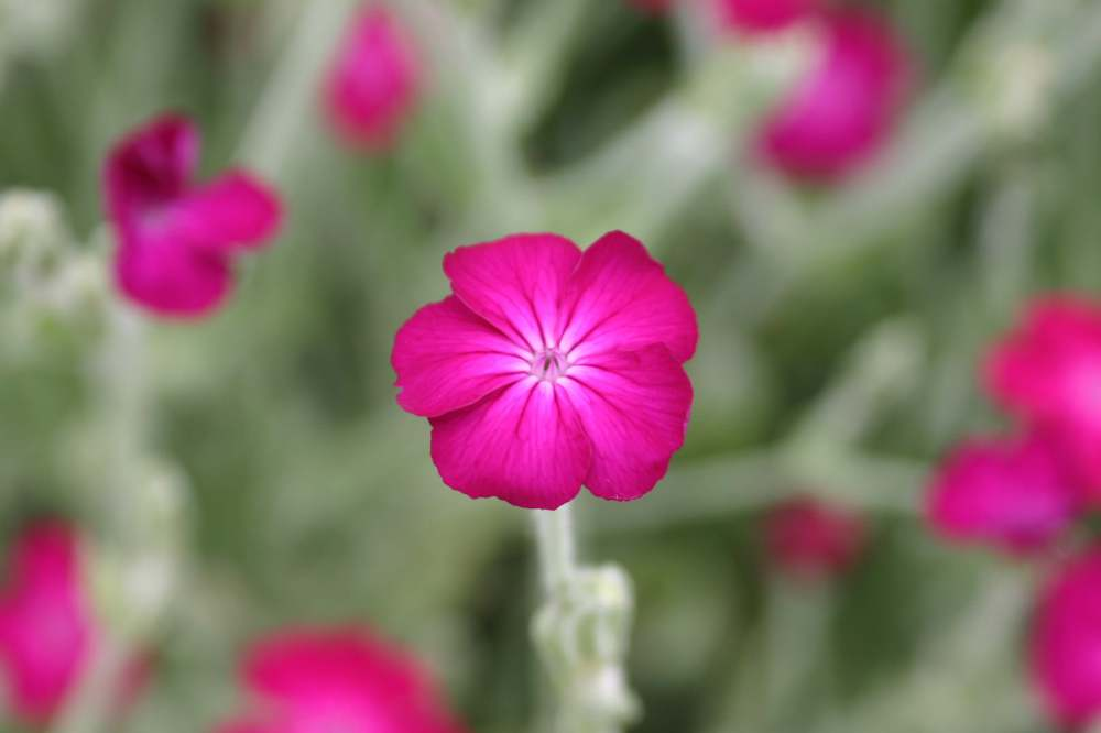 Lychnis coronaria close up (2)