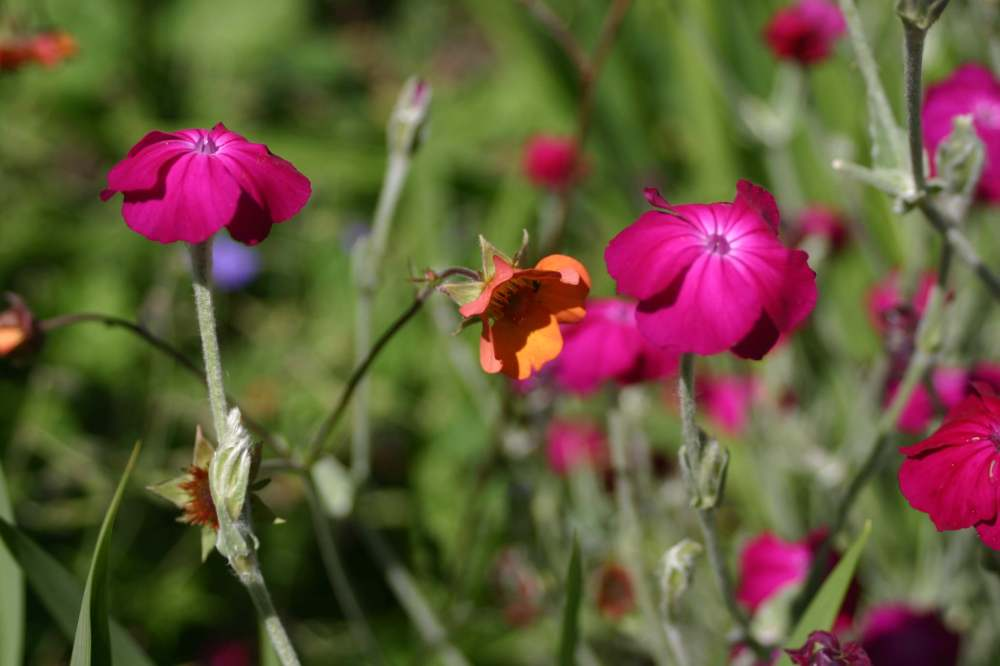 Lychnis coronaria with Geum 'Hilltop Beacon'