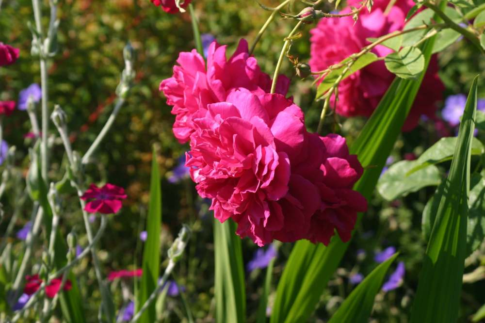 Rosa 'Thomas a Becket' Geranium 'Brookside' and Lychnis coronaria
