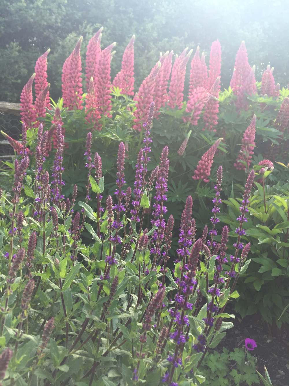 Salvia nemorosa 'Caradonna' and Lupin 'Gallery Red'