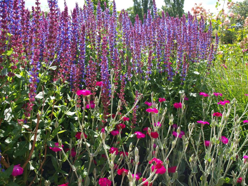 Salvia x superba and Lychnis coronaria