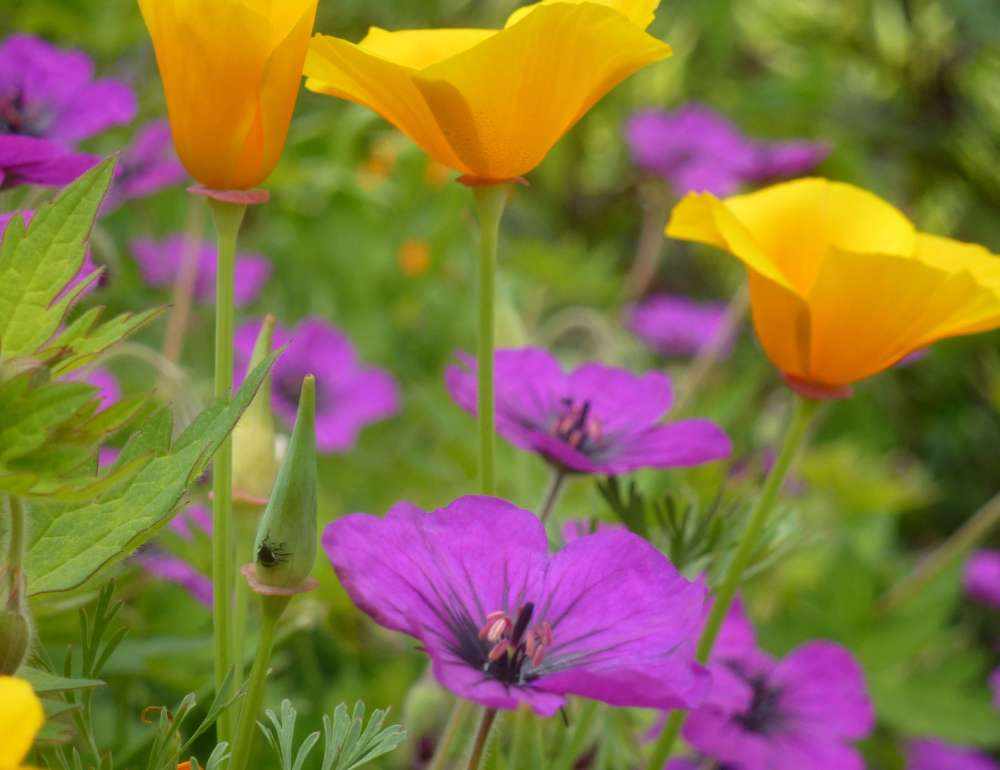 Geranium 'Anne Thomson' and Eschscholzia californica
