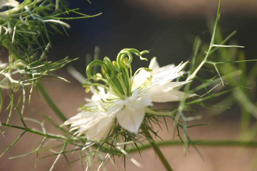 Nigella damascena 'Albion Green Pod' (2)